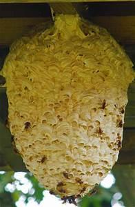 Wespen Im Haus : wir entfernen bienen und wespennester merz egger ag ~ Lizthompson.info Haus und Dekorationen