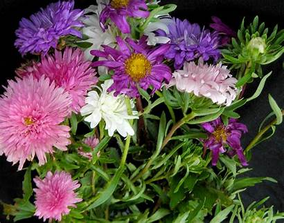 Crego Giant Aster Colors Mixed Asters Lrg