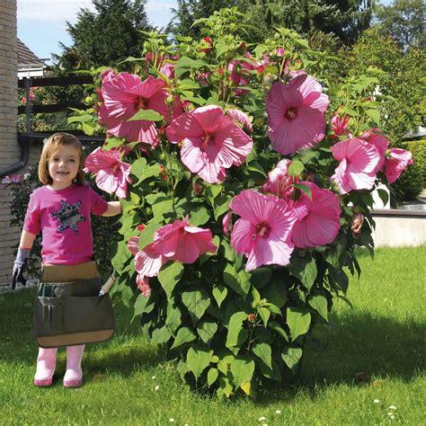 riesen stauden hibiskus kopper king  kaufen bei