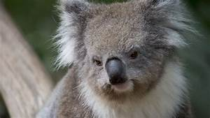 Mad Koala | www.pixshark.com - Images Galleries With A Bite!