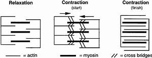Sliding Filament Theory Of Muscle Contraction In Which