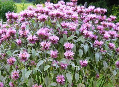 do deer eat bee balm savvy housekeeping 187 5 flowers that attract hummingbirds