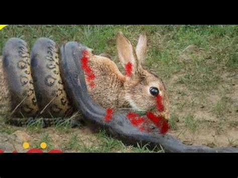 big snake attacks  kills rabbit rabbit  snake youtube