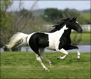 Black and White horses | The Paint horse and Pinto horse ...