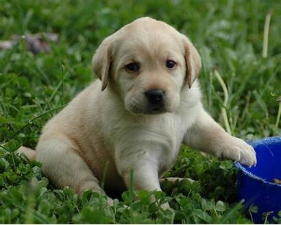 Lab Puppy Clker Puppies Golden Yellow Labs