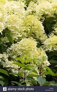 Hortensie Weiß Winterhart : white hydrangea shrub stockfotos white hydrangea shrub bilder alamy ~ Orissabook.com Haus und Dekorationen
