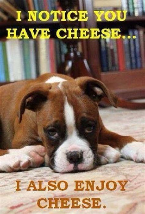 Funny Boxer Dog Memes - is there a boxer alive that doesn t like cheese popular boxer dog names pinterest to be