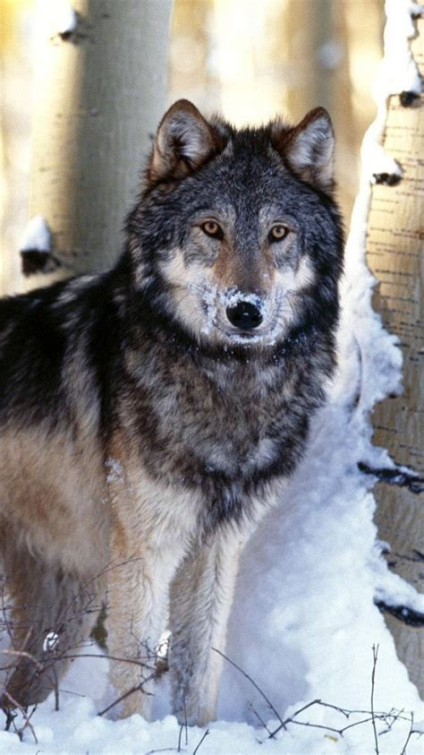 nature winter animals hunting gray wolf wolves wallpaper
