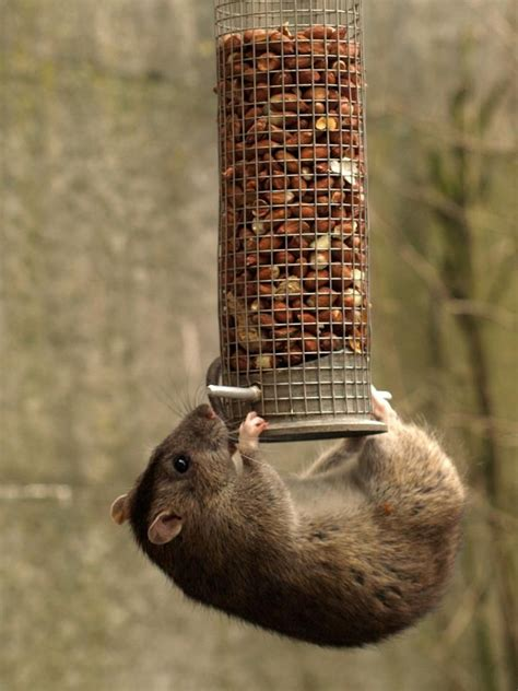 335 best images about sewer brown norway rats on