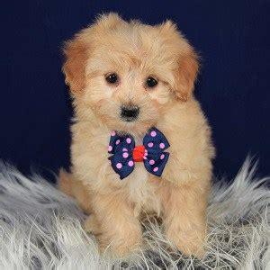 pomapoo puppies  sale  pa pomapoo puppy adoptions