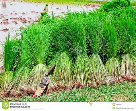 cosecha del arroz de la planta de semillero 20862877 jpg