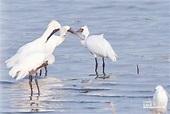 鰲鼓萬鳥過冬 今年增6種嬌客 - 中時電子報