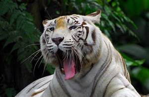 Roaring White Tiger - Animal & Insect Photos - Lai Chan ...