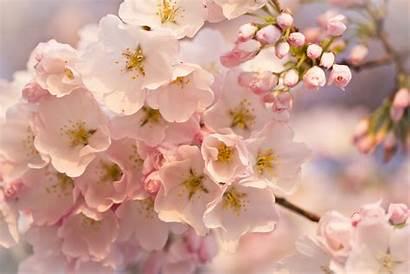 Flowers Spring Desktop Background Backgrounds Flower Wallpapers