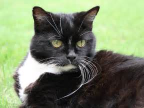 tuxedo cat breed tuxedo cat breed poc