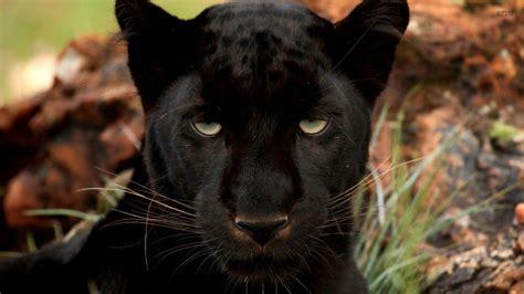Massamba diop) ludwig göransson remix 5. Black Panther Wallpapers - Wallpaper Cave