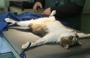 much cost cat spayed