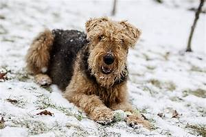airedale terrier mix breeds