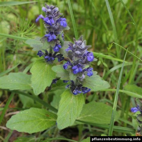 aconitum carmichaelii arendsii zonder bloem blauwe en paarse bloemen