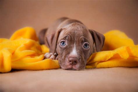 american pit bull terrier hunderasse mit bild info