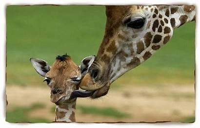 Giraffe Giraffes Facts Animal Animals Mother Myths