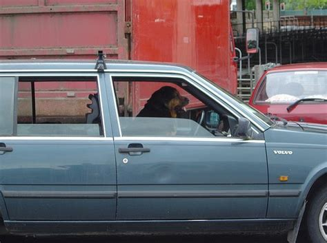 cool dogs driving cars  pics amazing creatures