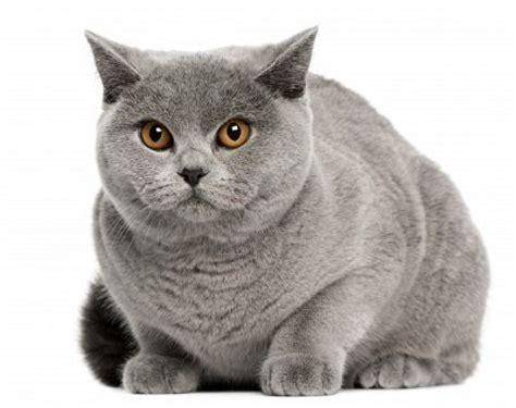 Shorthair Cat - cat pictures gallery