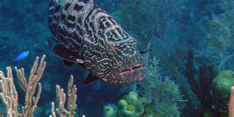 grouper nassau fish stump kristine huffpost