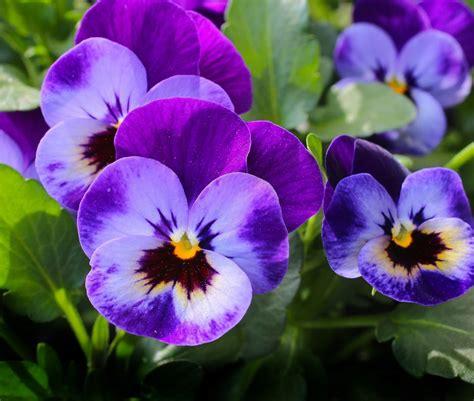 fiore viola crema di ceci con fiori di viola guacamole for breakfast