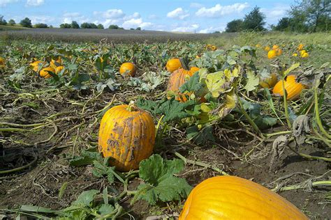 Pumpkin Patch St Louis Mo by Pick Your Own Pumpkin Patches In Missouri Funtober