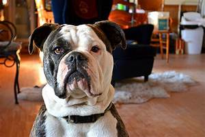 Old English Bulldog Growth Chart Best Picture Of Chart