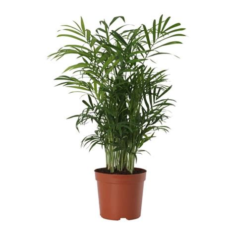 small living room dining room chamaedorea elegans potted plant parlour palm 9 cm ikea