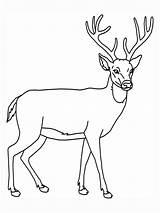 Deer Coloring Pages Animal Education Printable Dear Outline Print Deers Tailed Outlines Wildlife sketch template