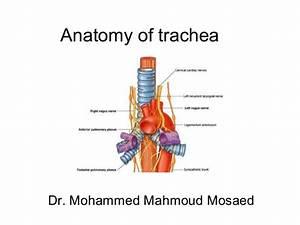 5  Trachea