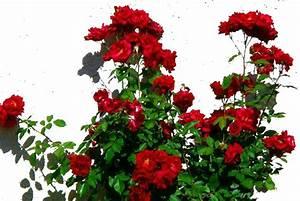 rosebush | polysyllabic profundities