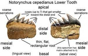 Shark Tooth Fossil Identification