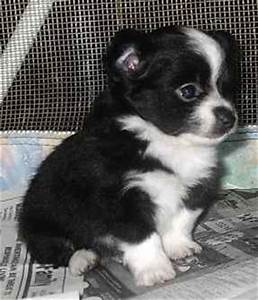 Pictures of Long Coated Chihuahua puppies