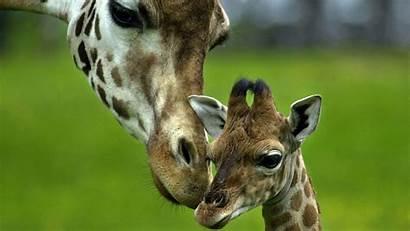 Giraffe Desktop Backgrounds Background Wallpapers Giraffes Girafe
