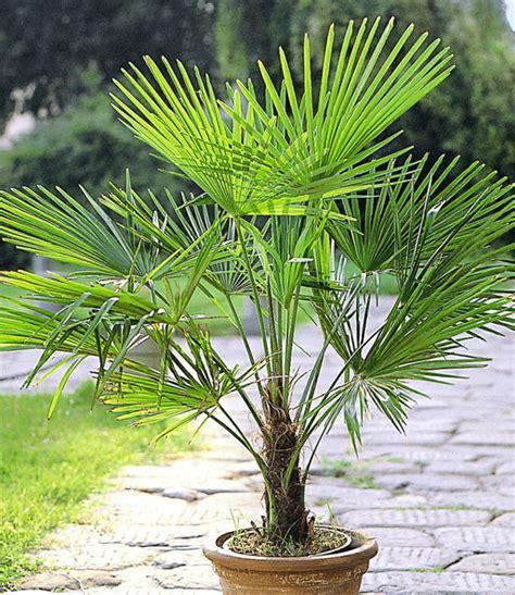 Winterharte Pflanzen Kübel by Winterharte K 252 Bel Palmen Sonderartikel Bei Baldur Garten
