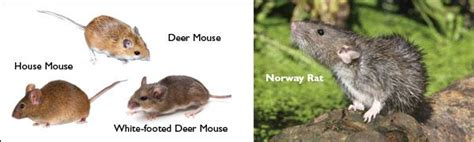 difference between mice and rats how to tell the difference between nj rats versus mouse