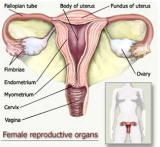 Janin Minggu Ke 5 Bidanpedia Ilmu Kebidanan Serta Kesehatan Ibu Dan Bayi