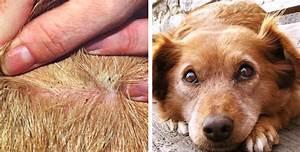 Puce De Chien : 8 modi per capire se il vostro cane ha le pulci e come ~ Melissatoandfro.com Idées de Décoration