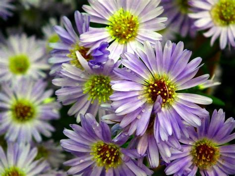 Aster Deck 2015 by Autumn Flowers To Plant Now Edecks
