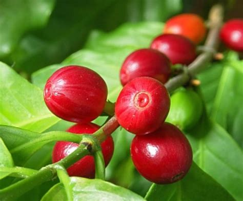 It can endure unfavorable conditions. Anatomy of a Coffee Bean   Coffee plant, Arabica coffee beans, Coffee tree