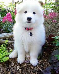 Hypoallergenic Samoyed Puppy