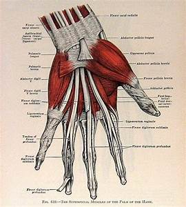 Muscles Of The Hand 2 Sided 1933 Human Anatomy Illustration