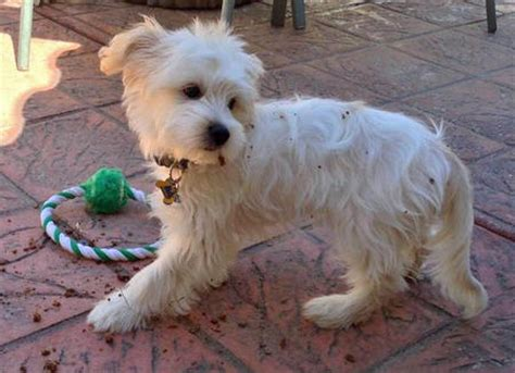 haircut styles   west highland white terrier dog