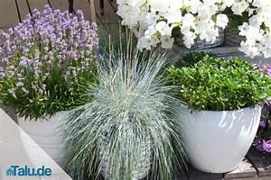 Lavendel Pflanzen Im Topf : wann sollte man lavendel pflanzen pflanzzeit und abstand ~ Frokenaadalensverden.com Haus und Dekorationen