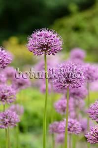 Allium Pflanzen Im Frühjahr : bild gestielter lauch allium stipitatum 39 mount everest 39 496092 bilder und videos von ~ Yasmunasinghe.com Haus und Dekorationen