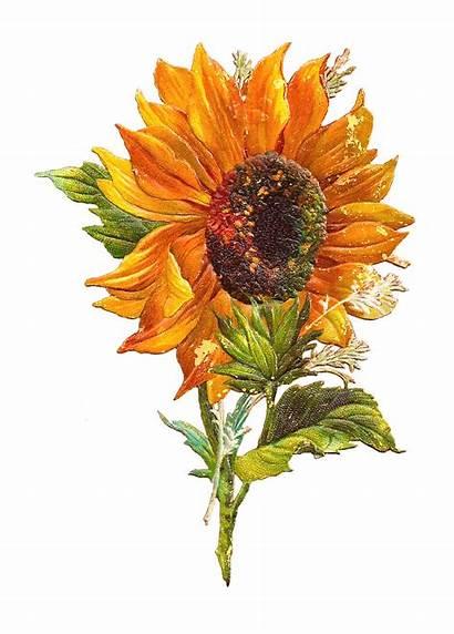 Clip Flower Sunflower Graphic Victorian Scraps Sun